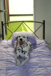 Luxury Units for indoor pets -  Dalmatian Stoli is enjoying her bed away from home I think